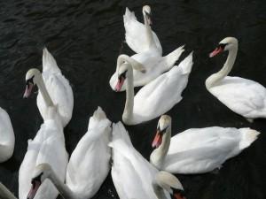 027 swans