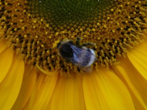 een kloothommel - a bumble bee - August 5, 2009