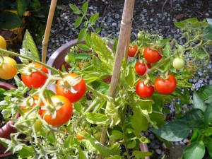 090826 tomatoes