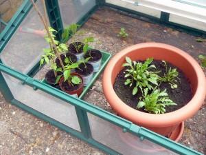 Diverse plantjes om nog te verpoten + rucola - May 21, 2009