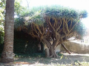 468 Jardim Agricola Tropical - drakenbloedboom