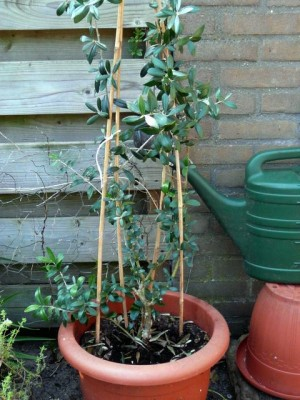 De olijf is ook weer buiten! - The olive has been put outside again - Monday, May 24