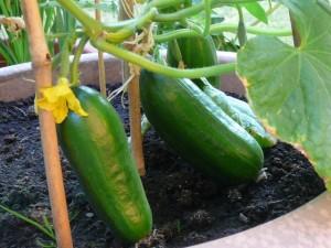komkommers - cucumbers - July 4, 2010