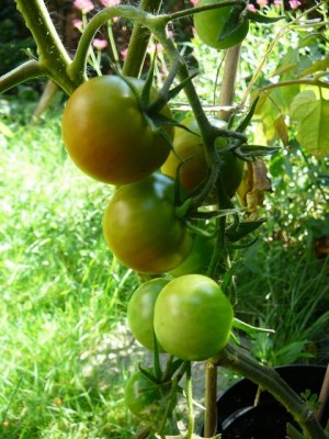 Tomaten - Tomatoes - Friday, August 20, 2010