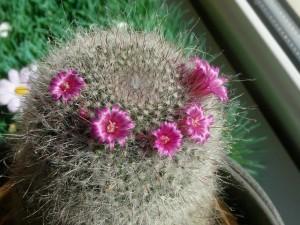 Lente? De cactus bloeit...