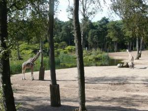 Safari: giraffe