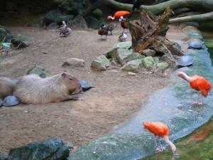 Capibara & rode ibis