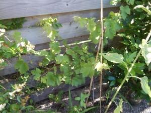 02 druif in de tuin 130719