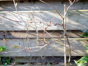 05 de druif krijgt blaadjes in de knop