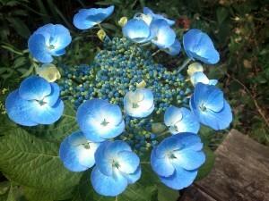 08 140621 Hortensia in de tuin