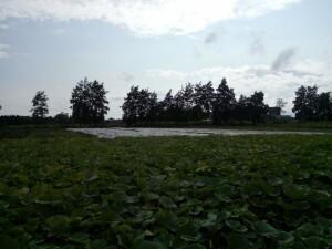 26 pompoenenveld