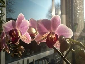 108 141228 orchidee in bloei