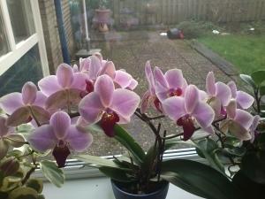 013 150111 orchidee in bloei