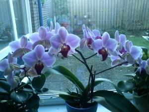 029 150117 Orchidee - bijna alle knoppen uitgekomen