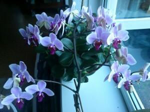 030 150117 Orchidee - bijna alle knoppen uitgekomen