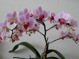 037 150118 orchidee - alle knoppen open