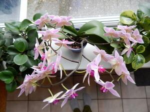 038 150118 orchidee - alle knoppen open