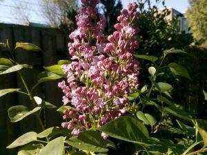 160507 165 sering in de tuin in bloei