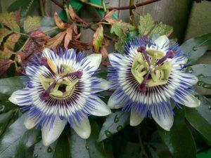 160803 116 bloemen van de buren in onze tuin